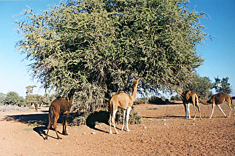camels feeding on argan tree leaves