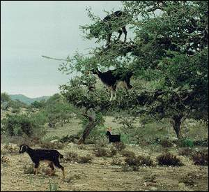 goats feeding on argan tree leaves